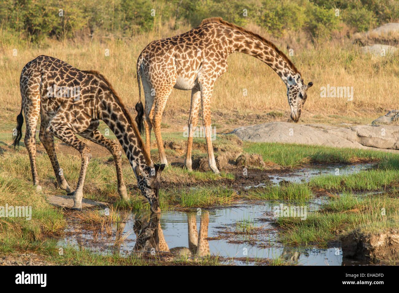 Serengeti NP, Giraffes - Stock Image