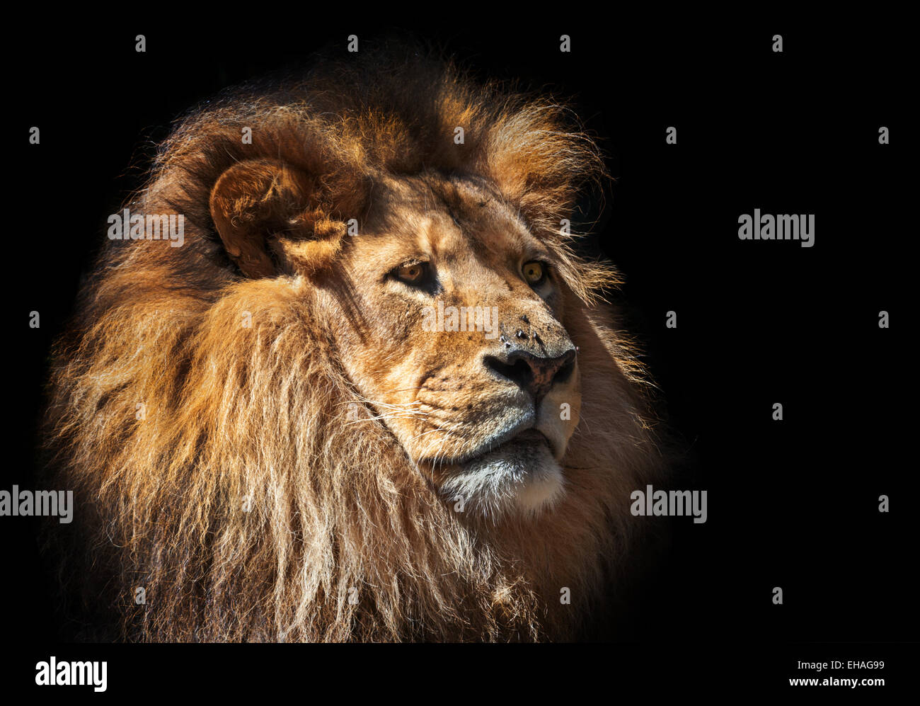 a moody lion thinking - Stock Image