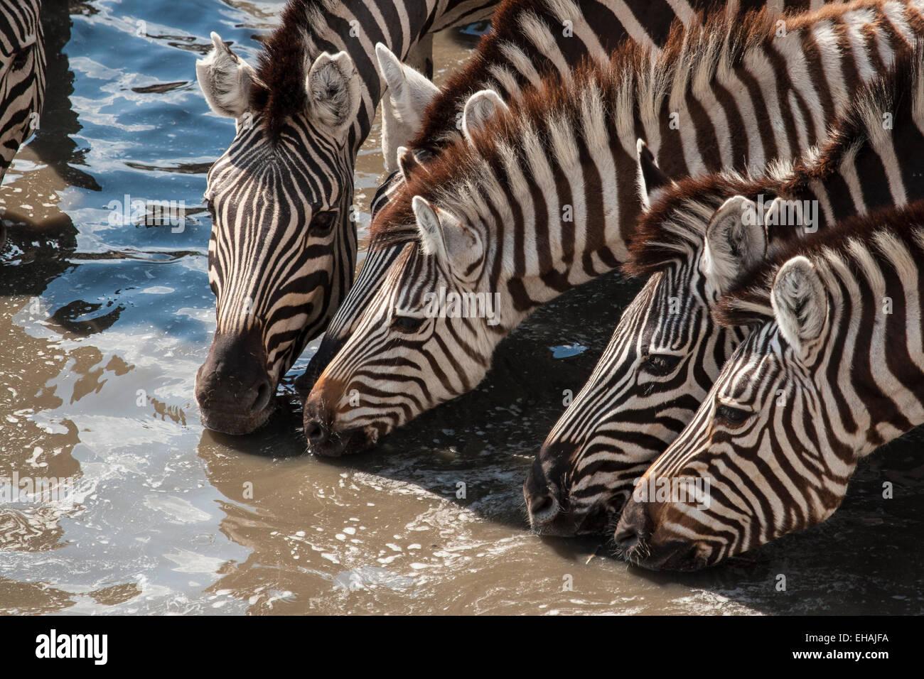 Plains Zebra (Equus quagga) have a communal drink - Stock Image