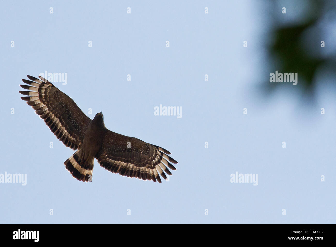 Crested Serpent Eagle (Spilornis cheela) in flight from below - Stock Image
