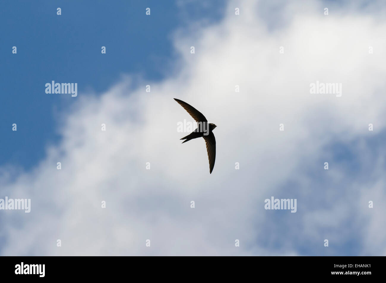 Swift (Apus apus) adult in flight against a band of cloud in a blue sky above Thirsk, North Yorkshire. June. - Stock Image