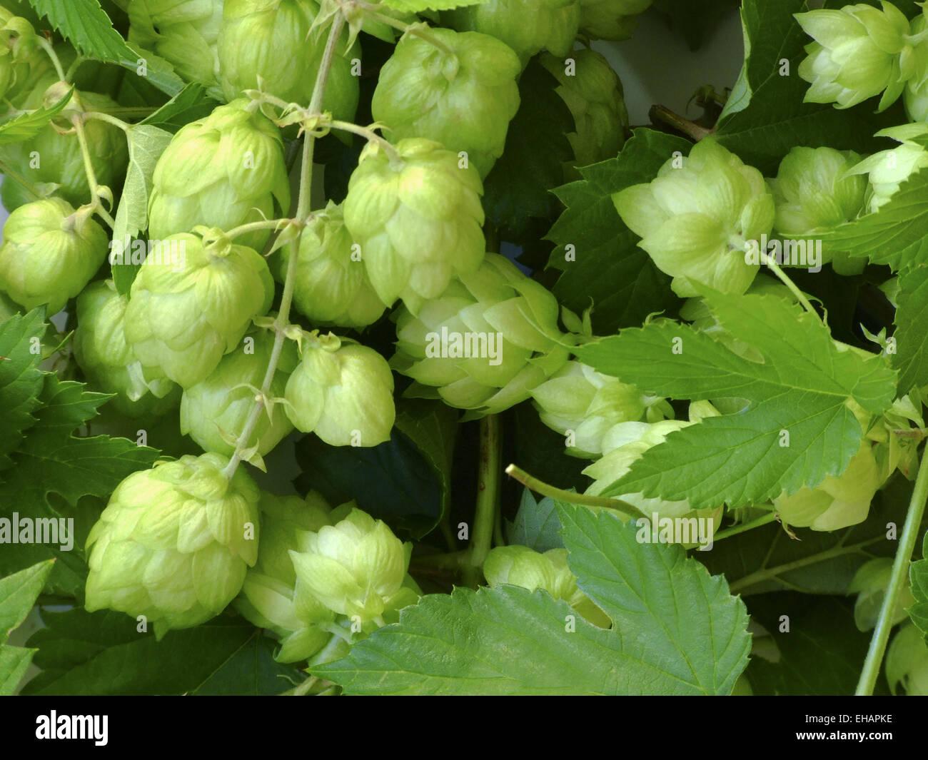 Hopfen / common hops (Humulus Lupulus) - Stock Image