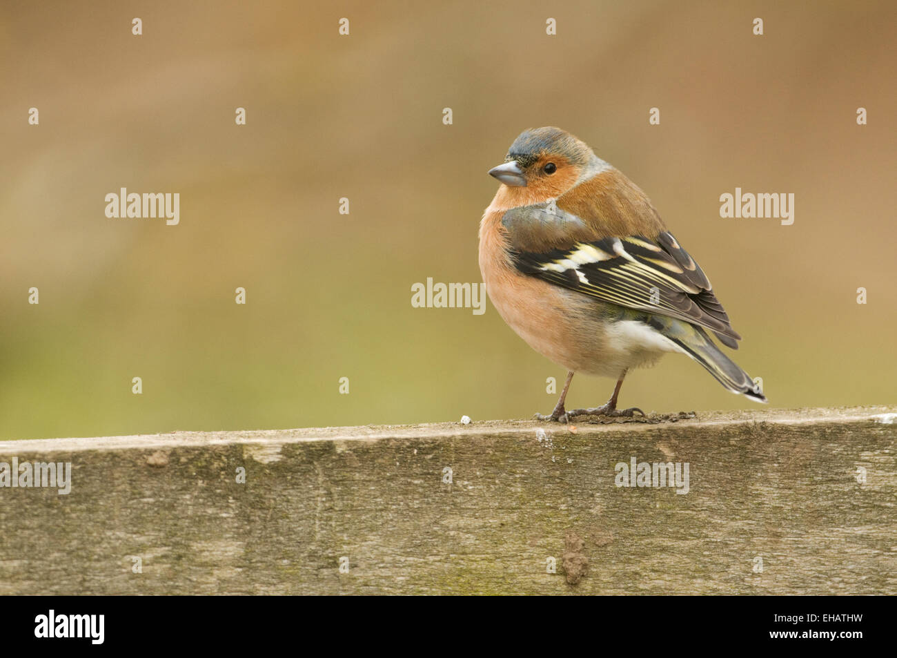 Chaffinch (fringilla coelebs) perched on a fence - Stock Image