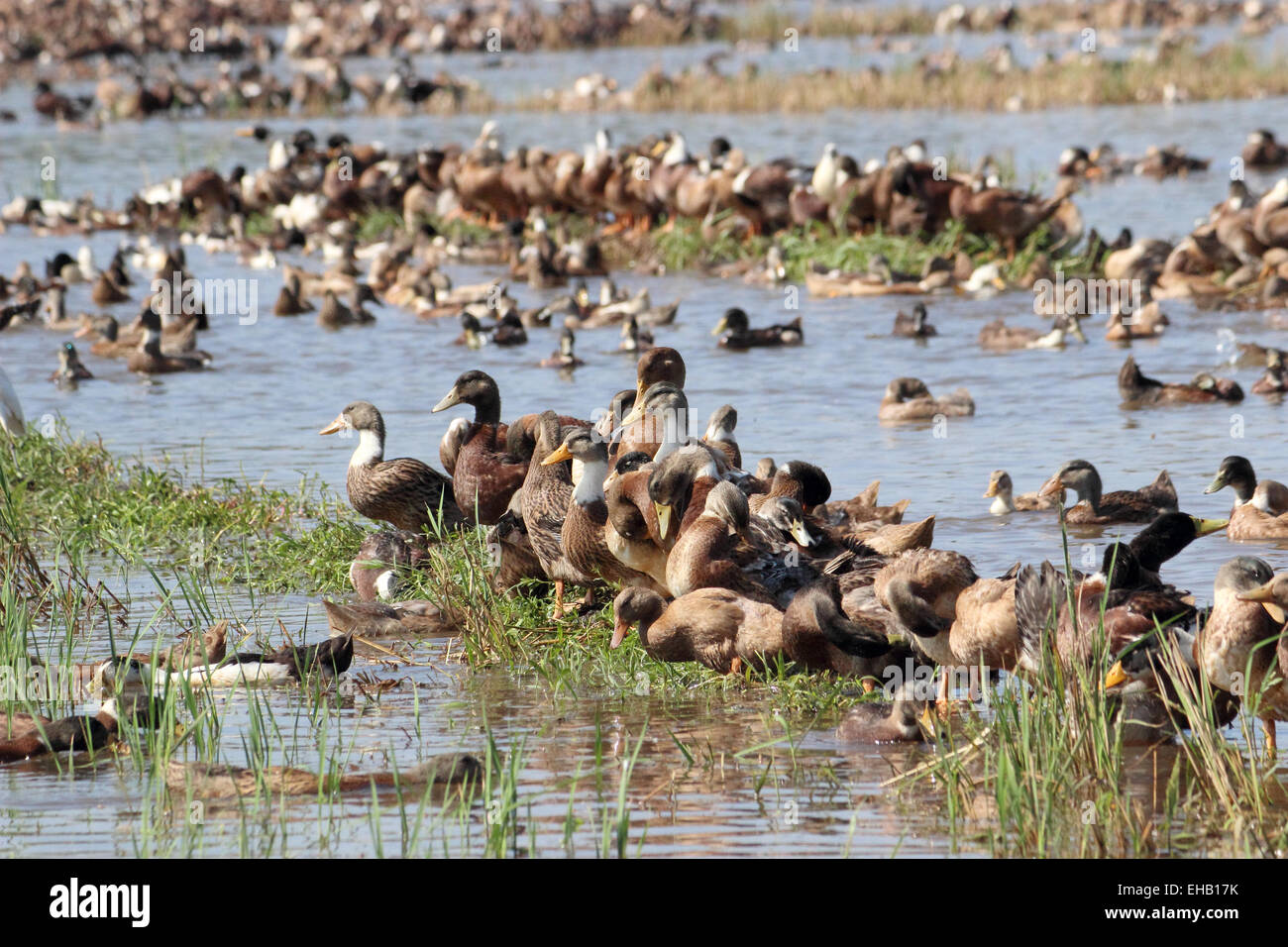 Ducks, kuttanad, Alappuzha, Kerala, India - Stock Image