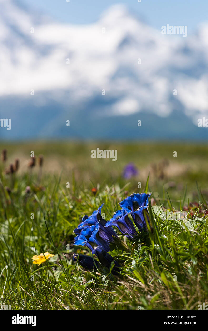 Wild gentians flowering in the Swiss Alps in June - Stock Image