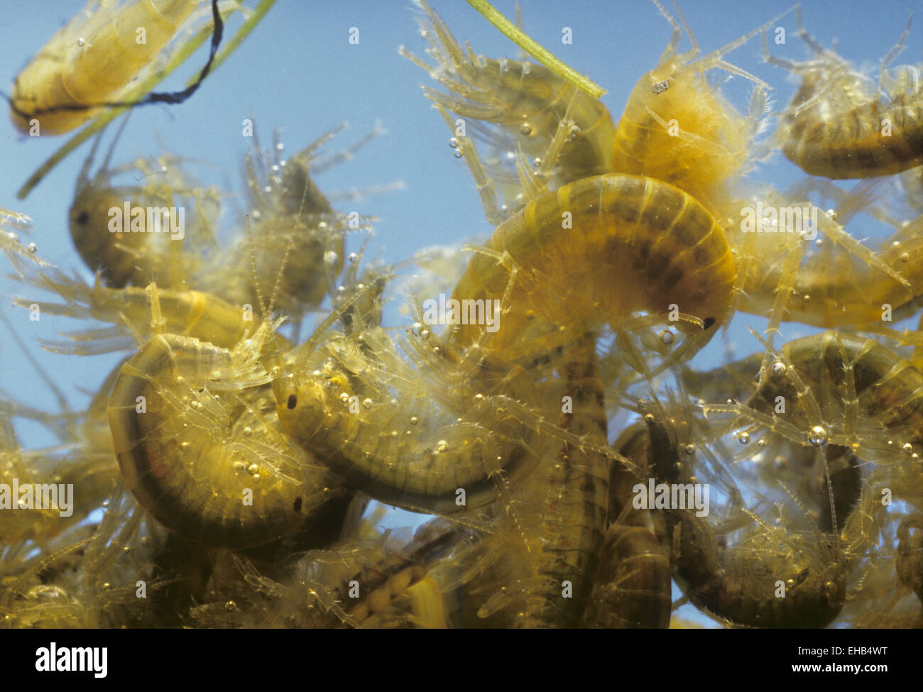 Freshwater Shrimp - Gammarus pulex - Stock Image