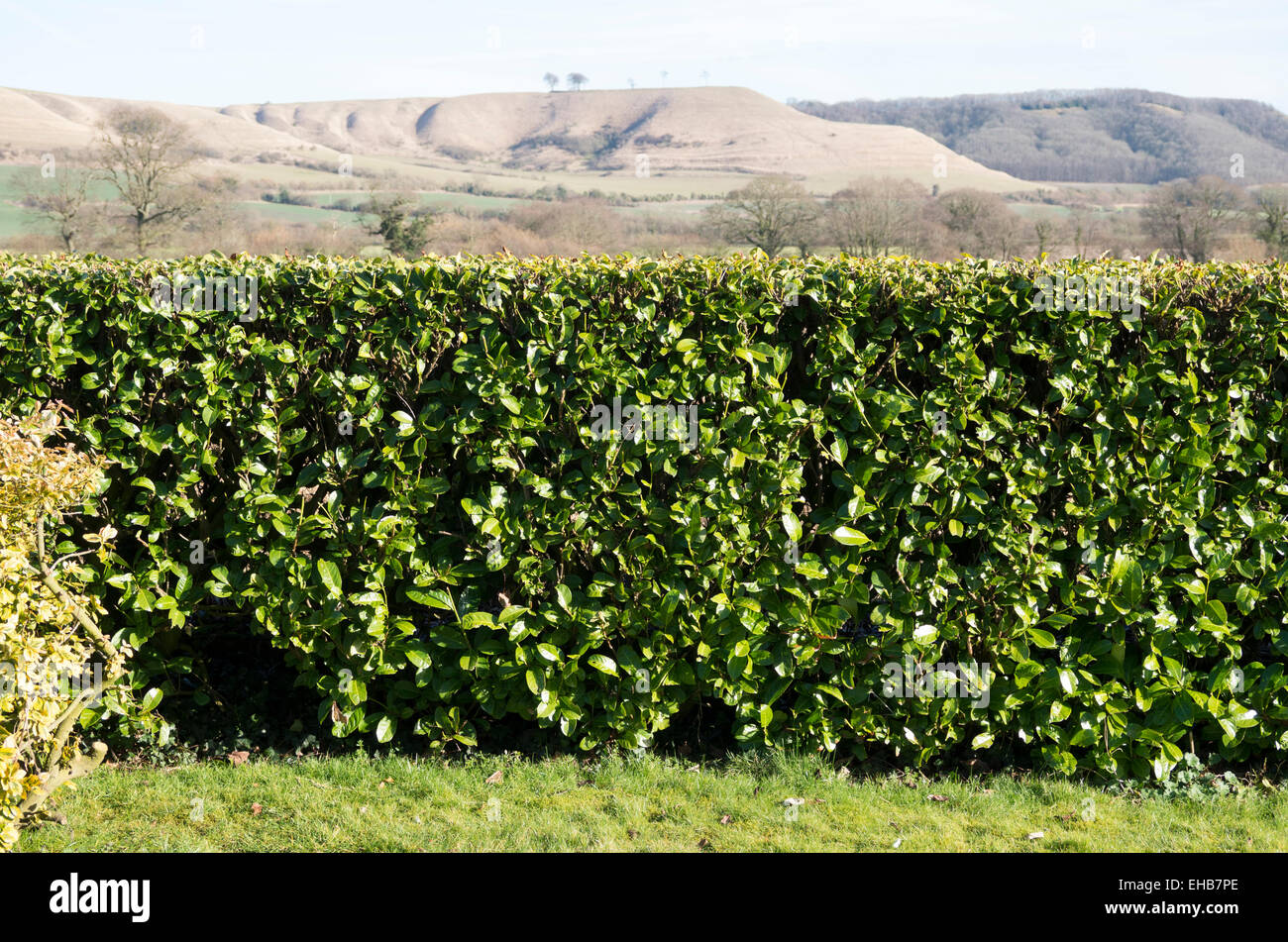 Clipped laurel hedge on garden boundary with rural view beyond - Stock Image
