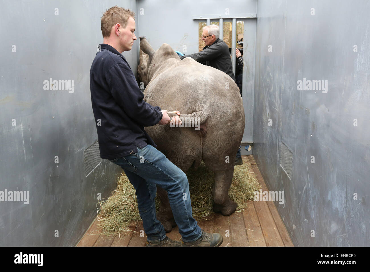 ARNHEM - In Burgers' Zoo in the Dutch city Arnhem the 2.5 year old white rhinoceros Vince was Monday 9-3-2015 loaded Stock Photo