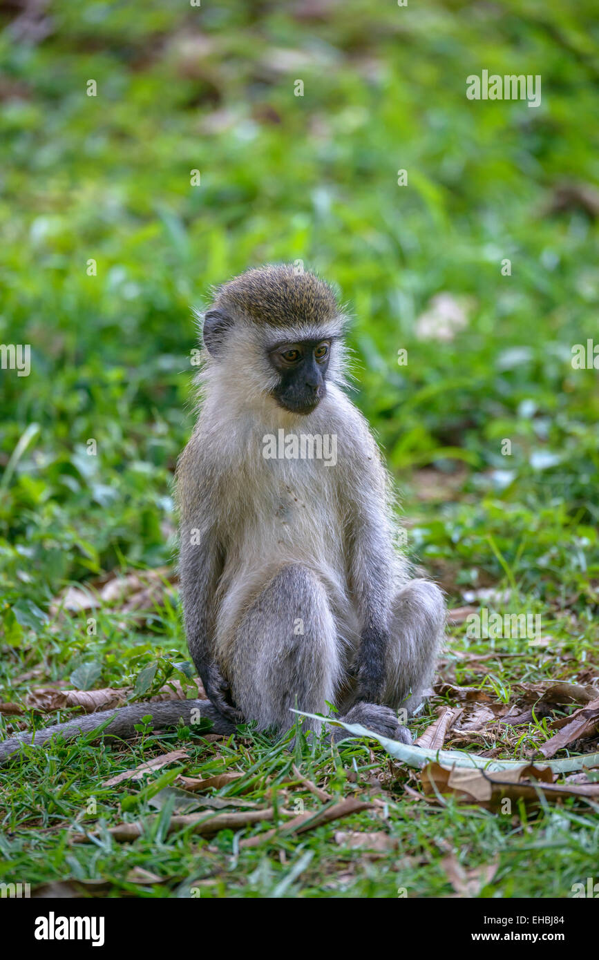 A young, juvenile vervet monkey, an Old World monkey sits on grass. - Stock Image