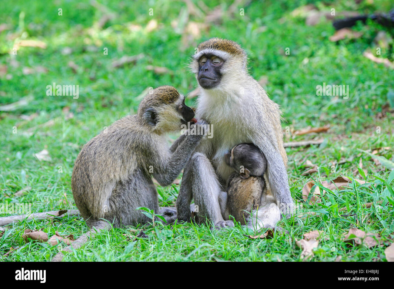 Bliss: adult female a vervet monkey being groomed with her offspring clinging to her. - Stock Image