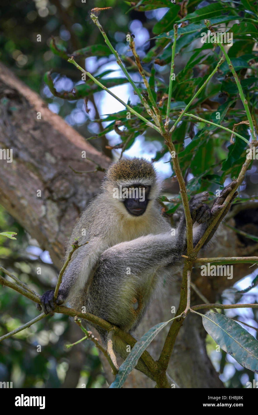Vervet monkey, an Old World monkey, watches from a tree in Entebbe Botanical Gardens, Uganda. Vertical format with - Stock Image