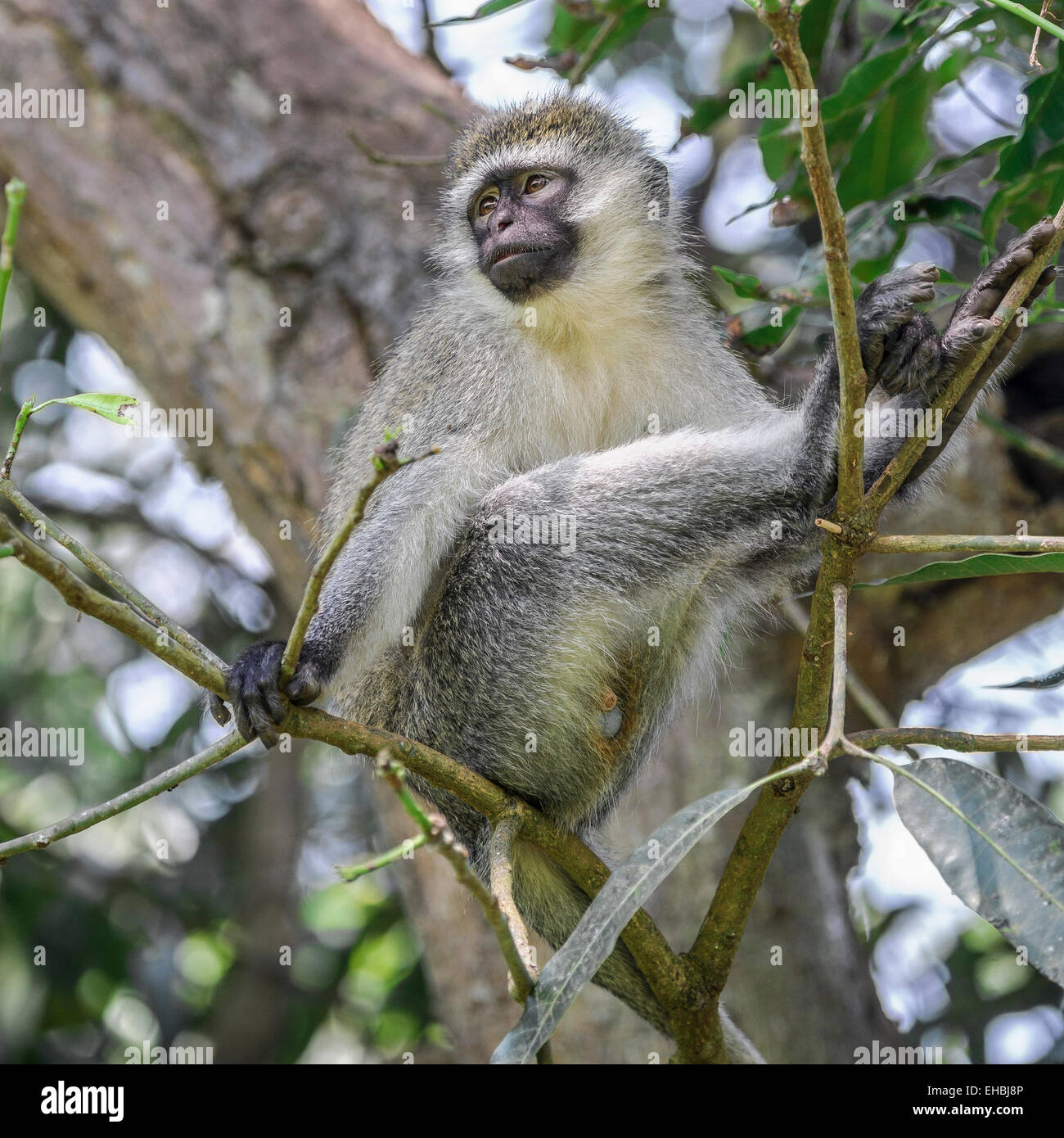Adult a vervet monkey, an Old World monkey sat up a tree in Entebbe Botanical Gardens, Uganda. Square format. - Stock Image