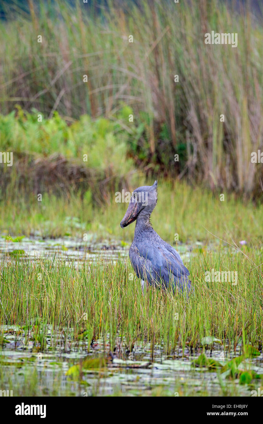 A shoebill, whalehead or shoe-billed stork stood absolutely still in Mabamba Swamp, Uganda. Vertical format with - Stock Image