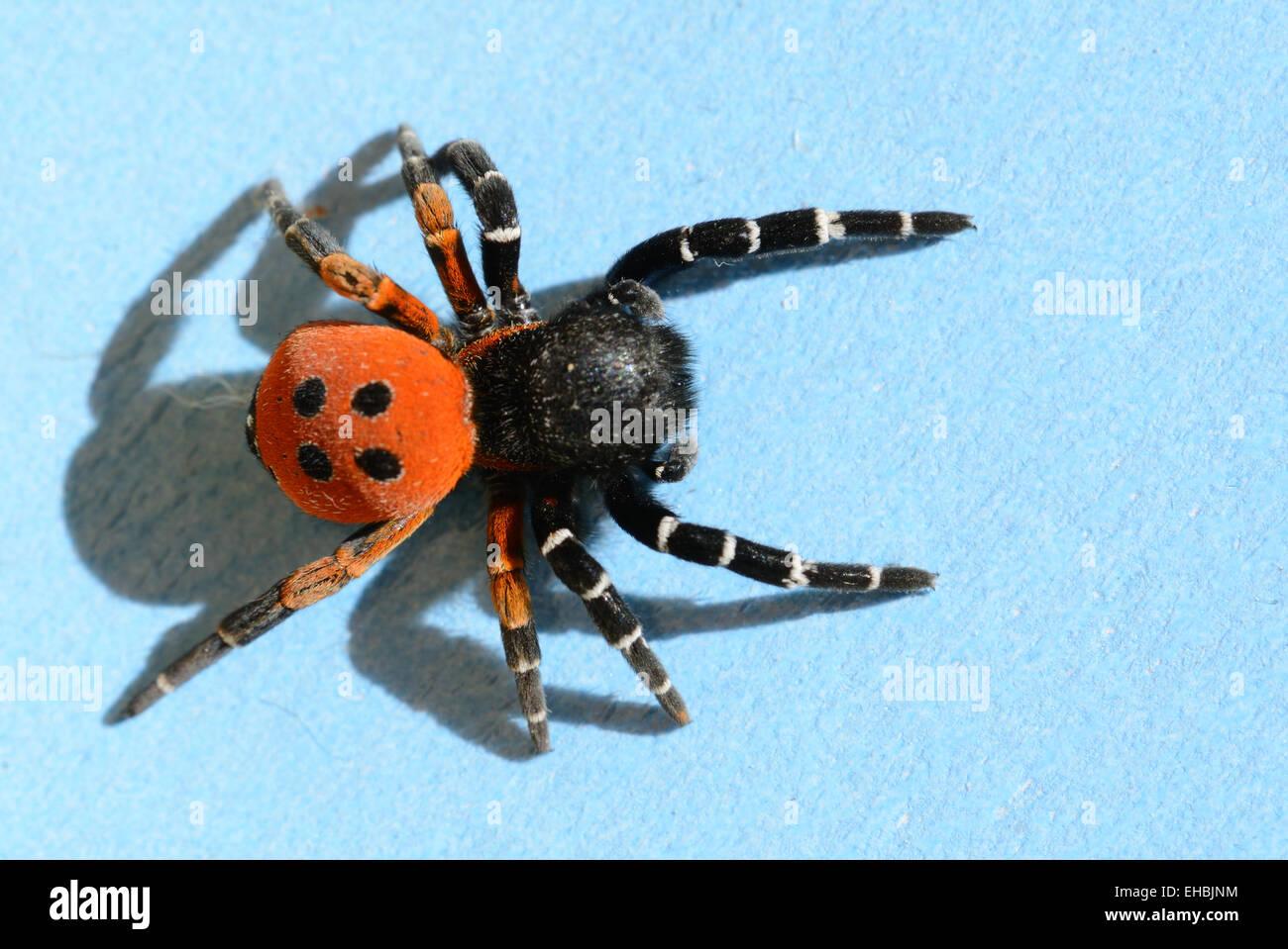 Ladybird Spider or Velvet Spider Eresus cinnaberinus formerly Eresus niger - Stock Image