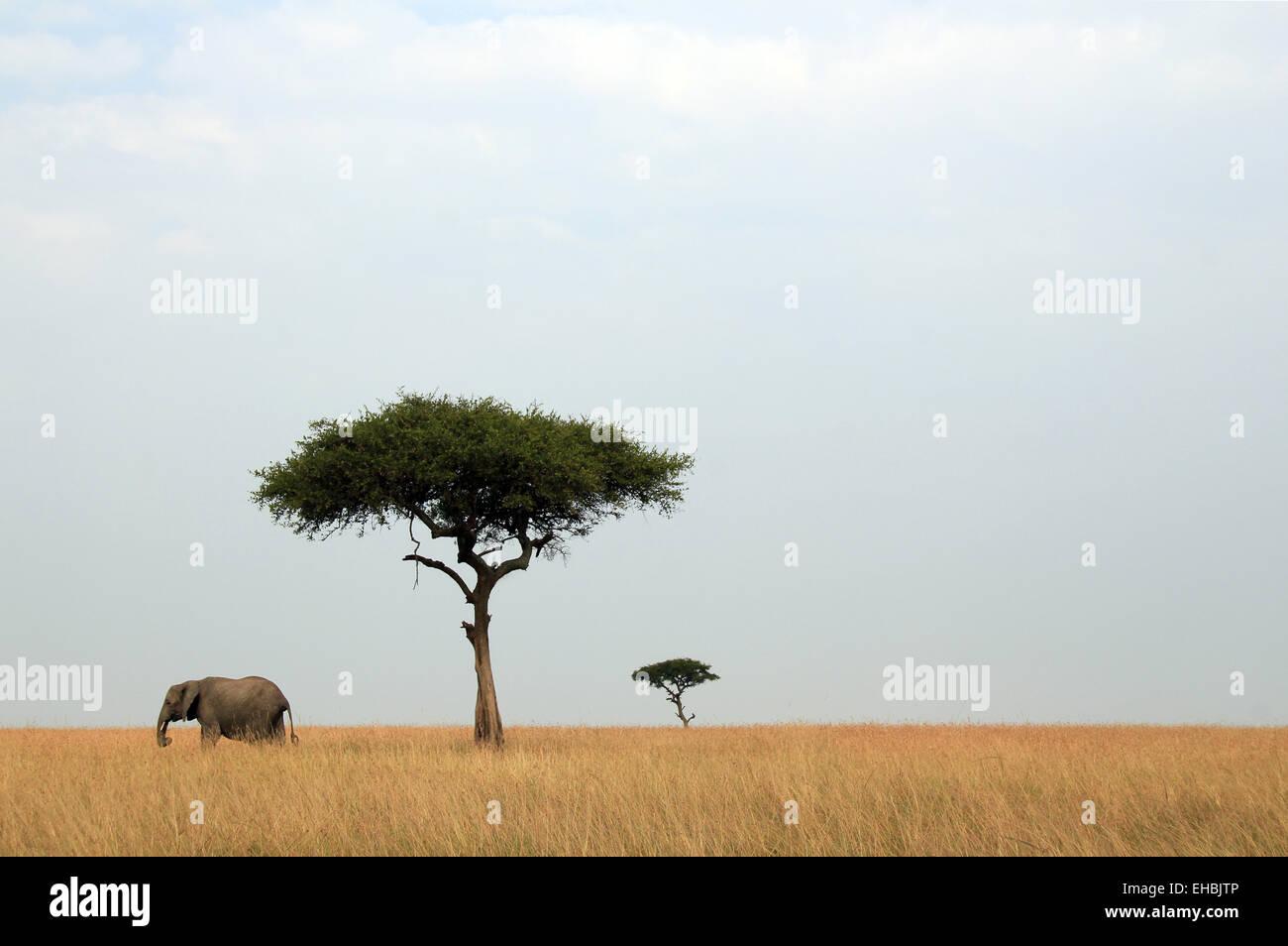Elephant & Acacias - Stock Image