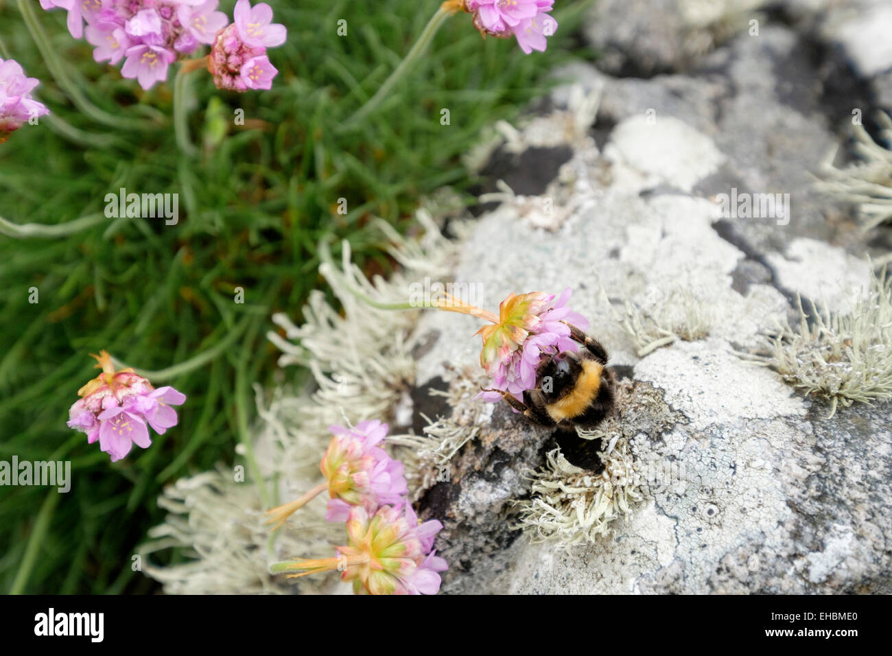 Bumble bee pollinating whilst feeding on nectar in Thrift or Sea Pink flower (Armeria maritima) growing by rocks. - Stock Image
