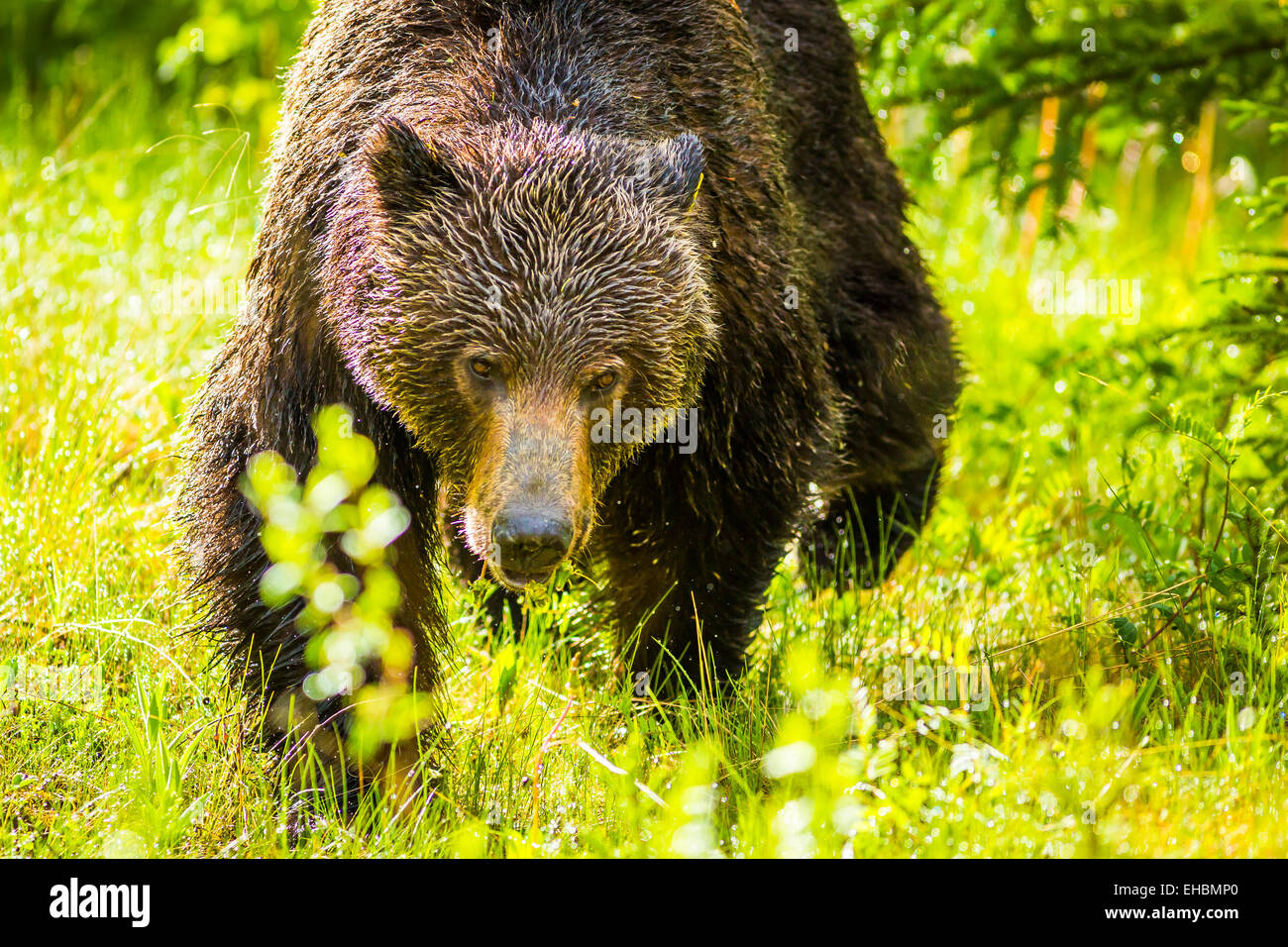 Grizzly bear walking - photo#33