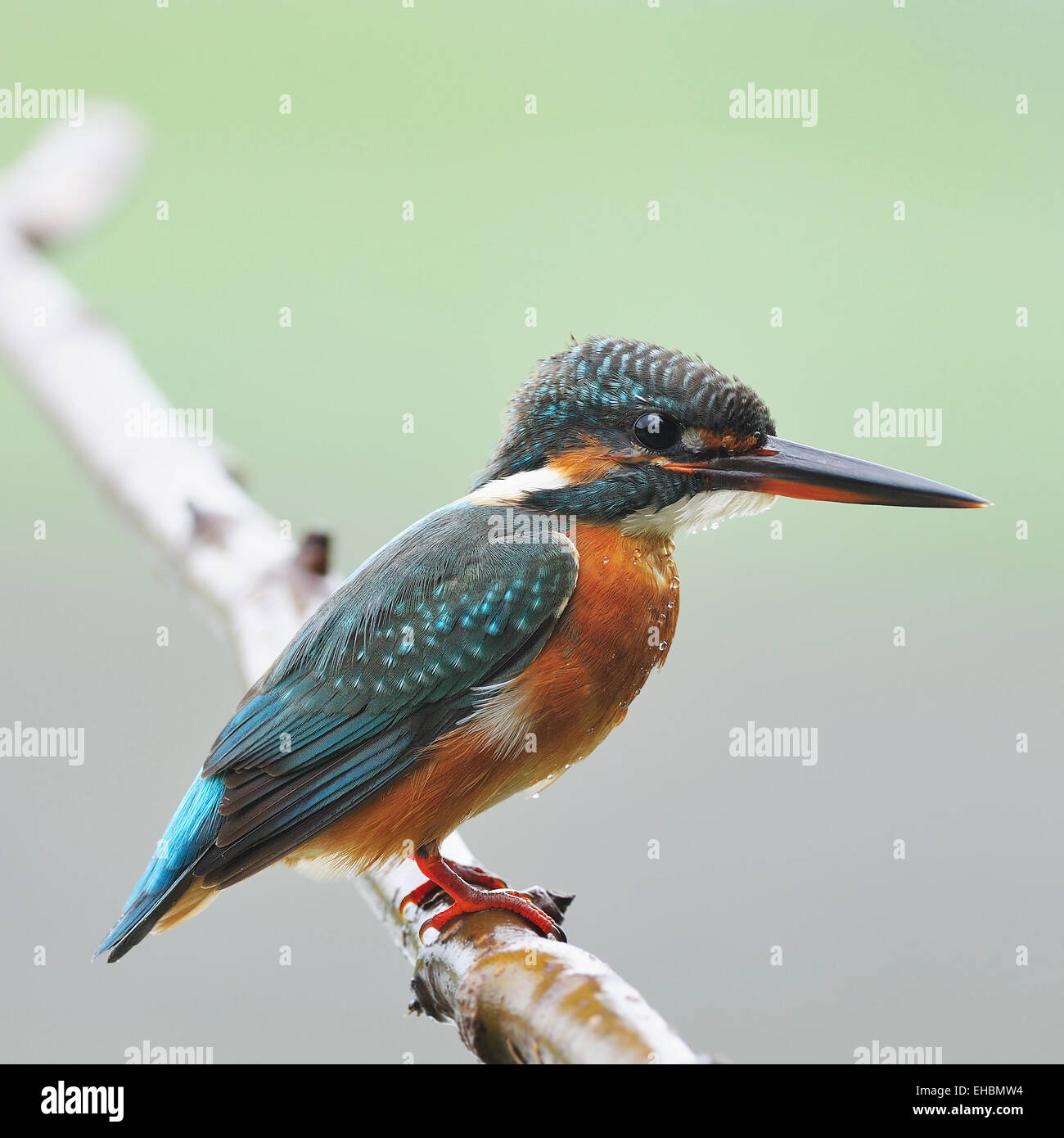 Colorful Kingfisher bird, female Common Kingfisher (Alcedo athis), standing on a branch - Stock Image