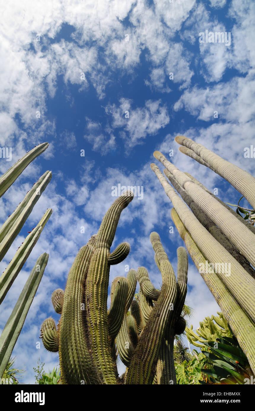 Cacti or Cactus in the Exotic Gardens or Jardin Exotique de Monaco Botanical Garden Monaco - Stock Image