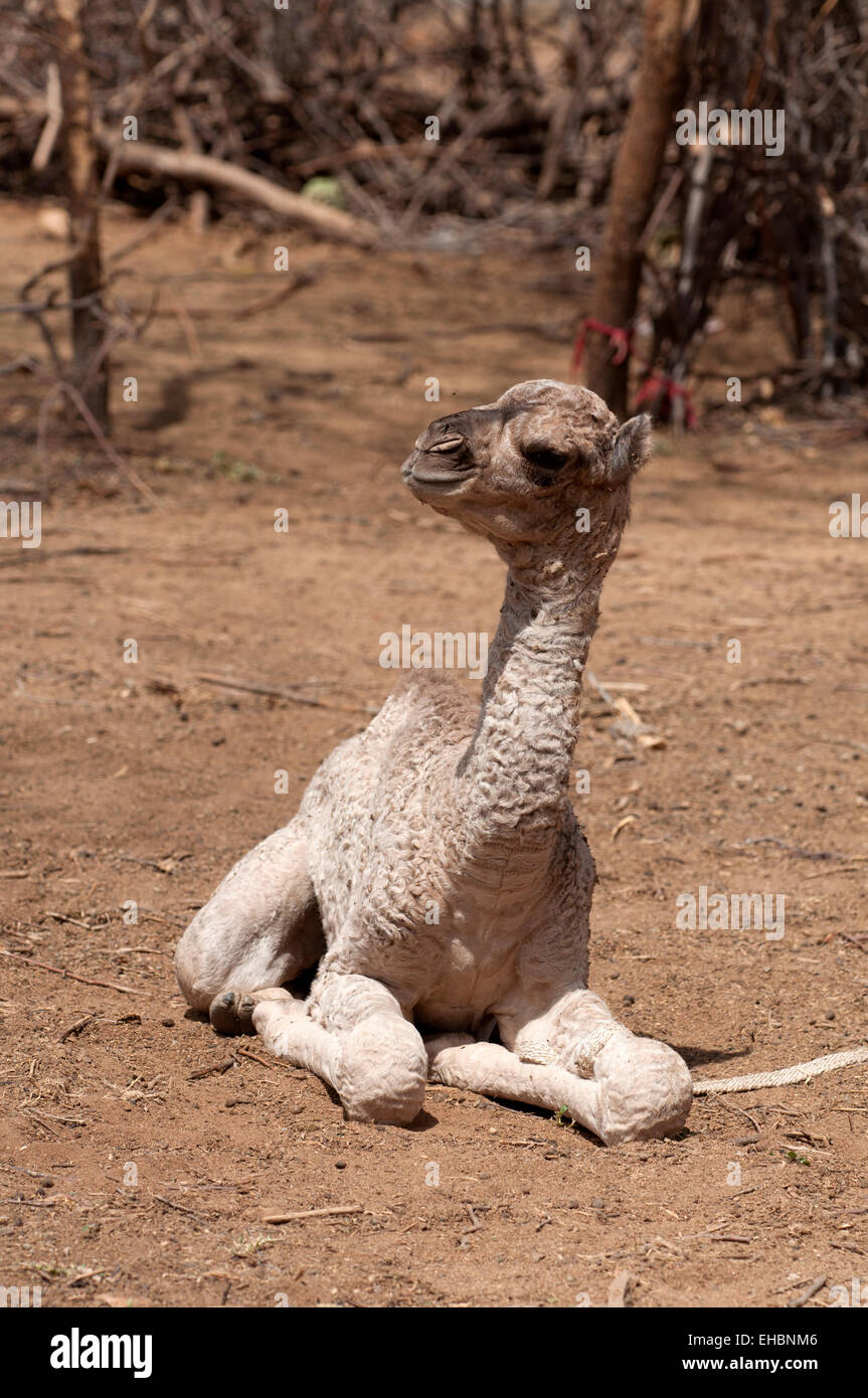 A puppy of a dromedary seated on the ground, Kenya - Stock Image