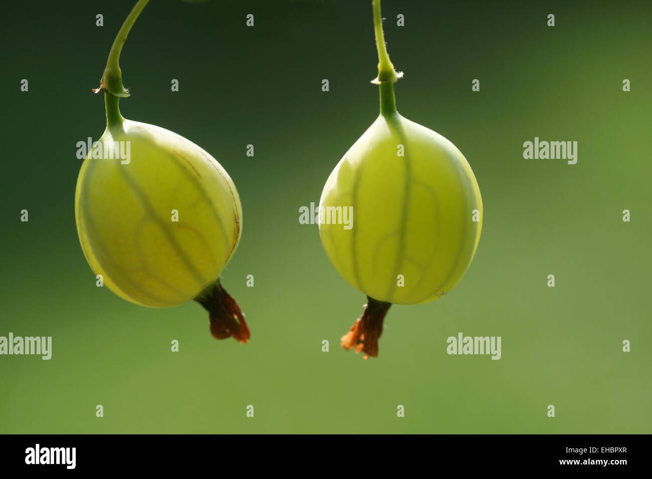 gooseberry Stock Photo
