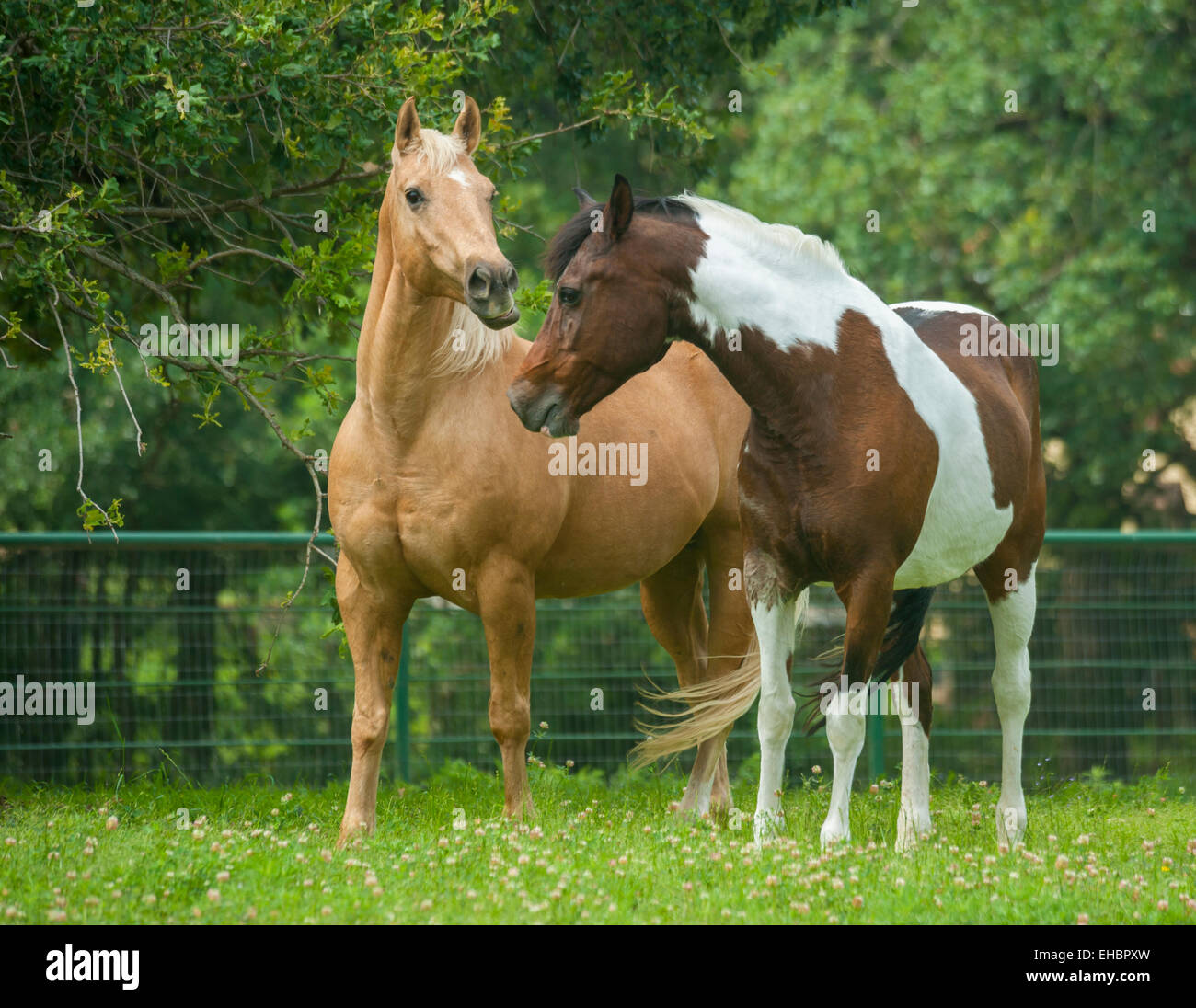 Quarter Horse gelding and Pinto National Show Horse mare - Stock Image