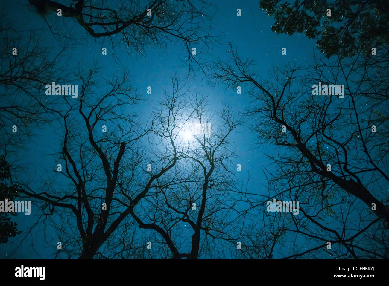 Bare Hickory Trees with moon in winter sky - Stock Image