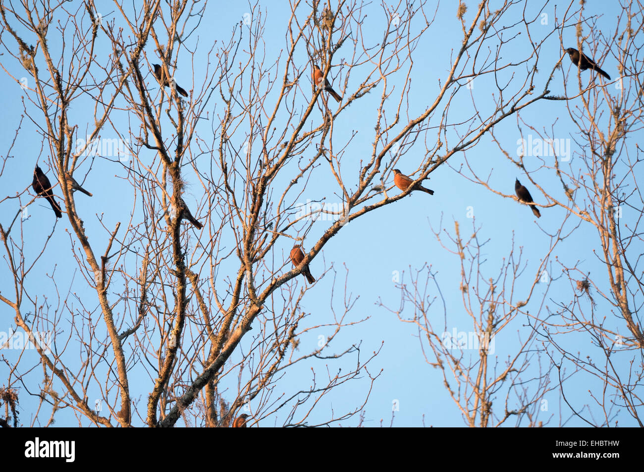 Dusky Blackbirds and Robins in bare winter Hickory tree - Stock Image