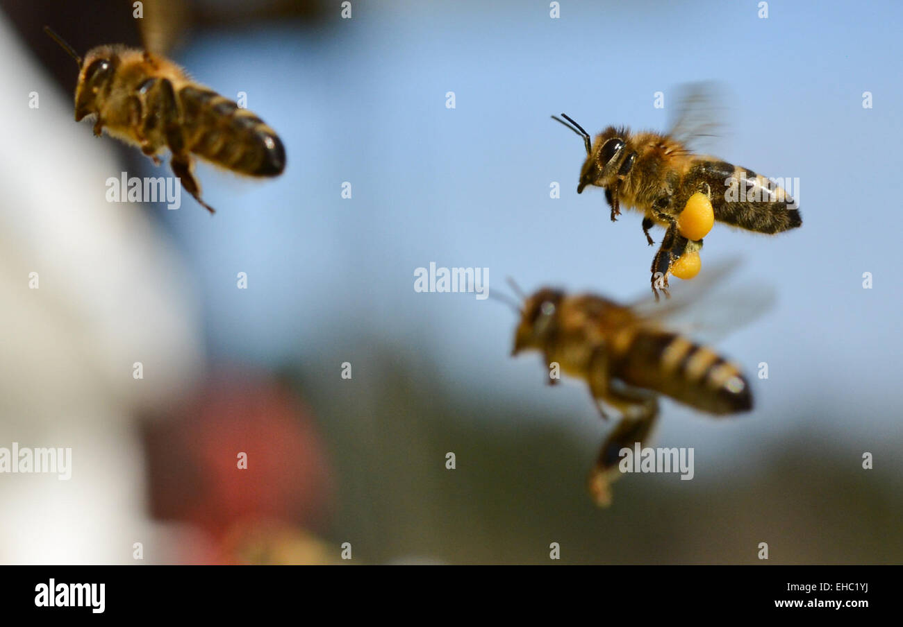 Wild bees are approaching a hive on the Lohrberg in Frankfurt a.M., Germany, 11 March 2015. The spring weather attrats - Stock Image