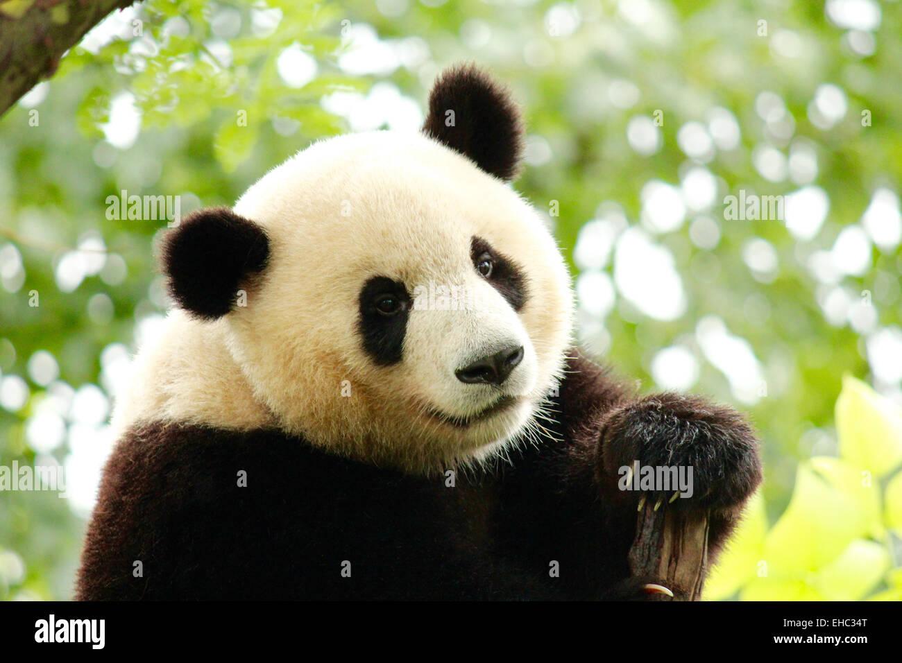 Close-up of a Giant Panda. - Stock Image