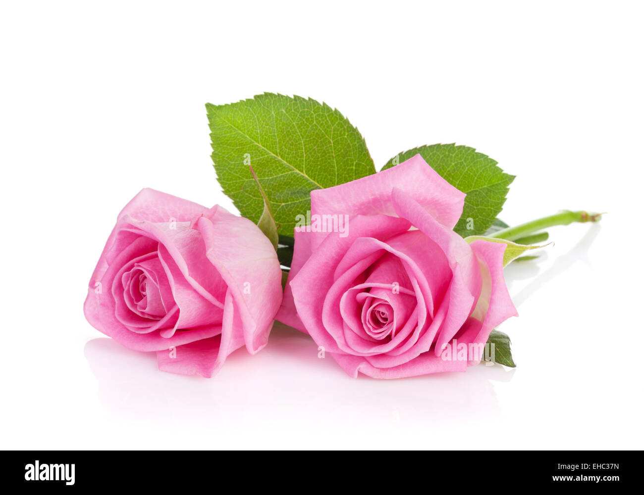Two Pink Rose Flowers Isolated On White Background Stock Photo