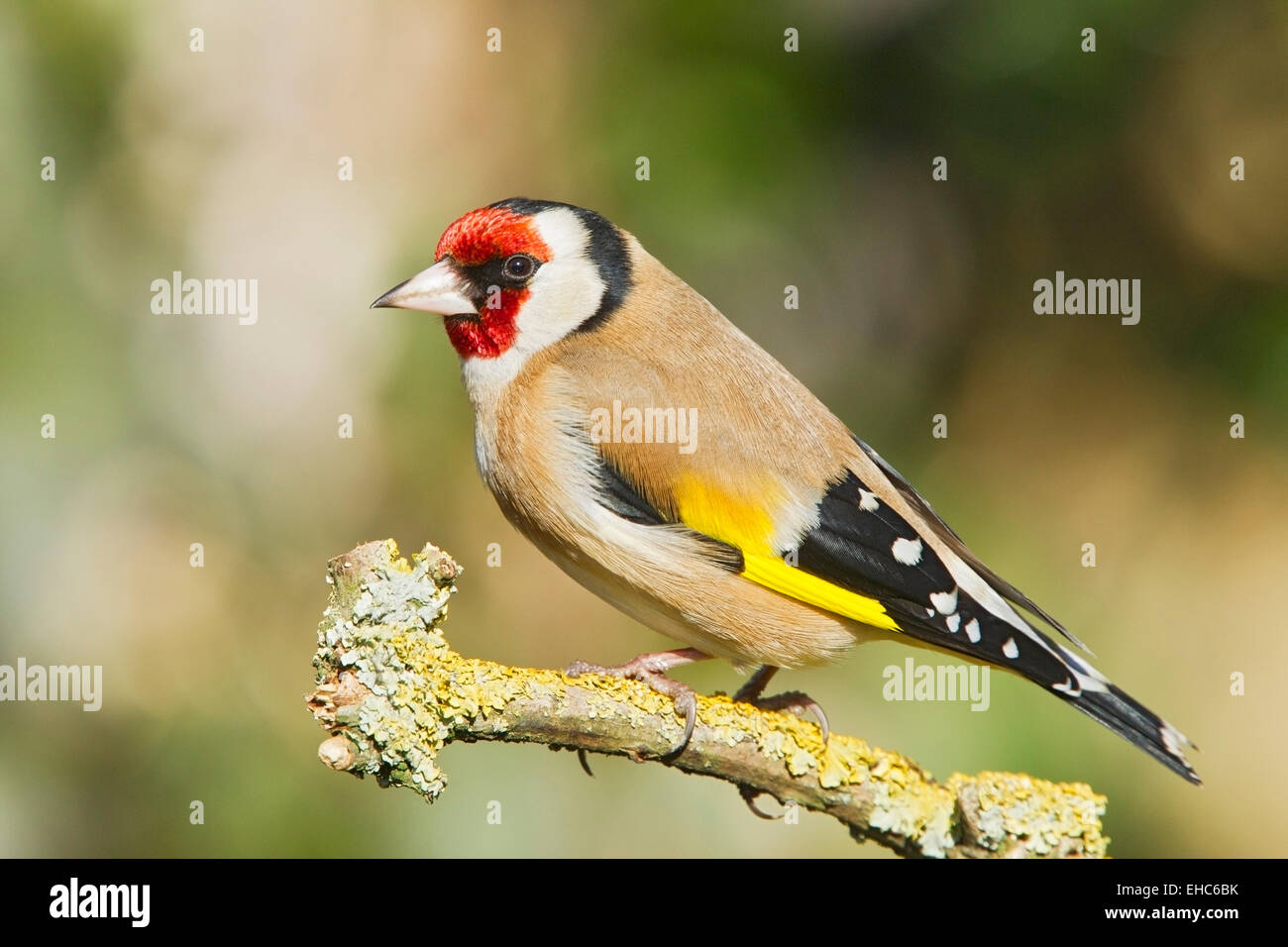 European Goldfinch (Carduelis carduelis) adult male perched on lichen covered branch, England, United Kingdom - Stock Image