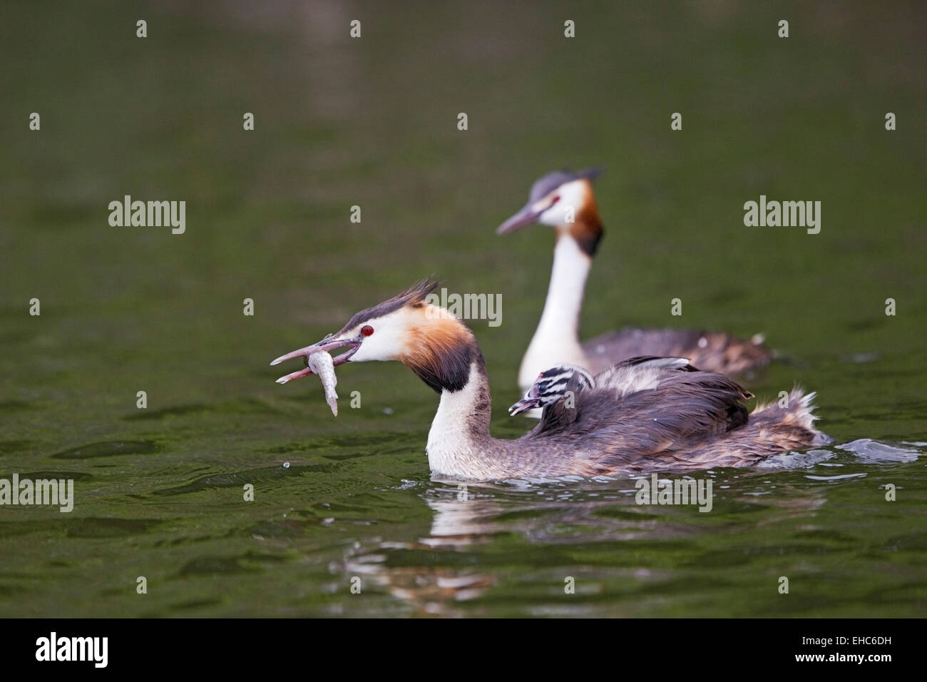 Great Crested Grebe (Podiceps cristatus) adult and chick swimming on water, Norfolk, England, United Kingdom - Stock Image