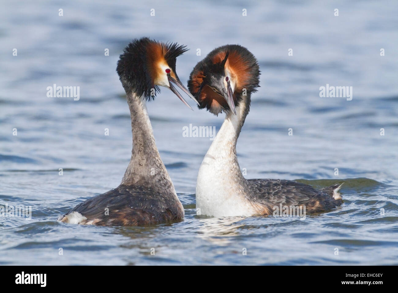 Great Crested Grebe (Podiceps cristatus) pair in courtship display on water, Norfolk, England, United Kingdom, Europe - Stock Image