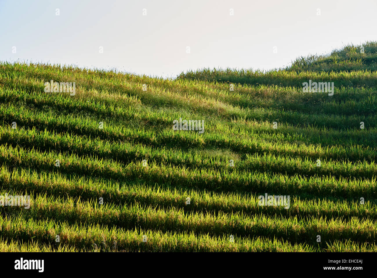 rice terraced fields of Wengjia longji Longsheng Hunan China - Stock Image
