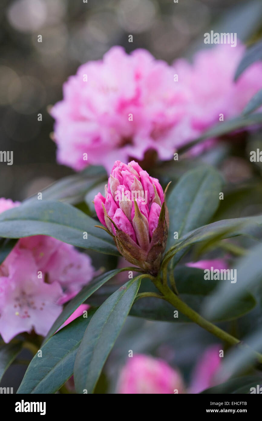 Rhododendron 'Christmas Cheer' flower. - Stock Image