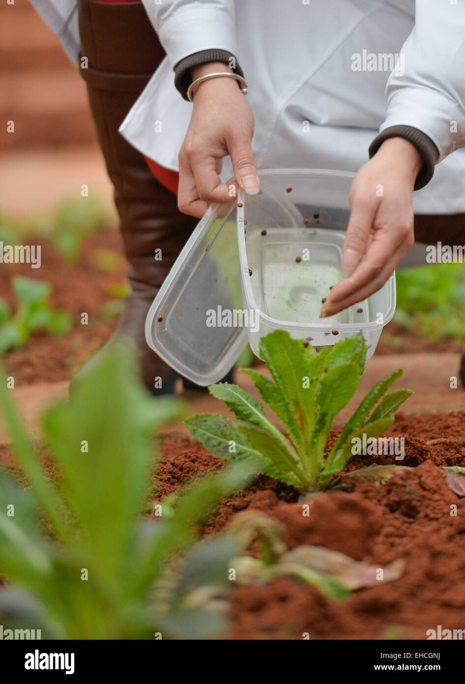 (150312) -- CHANGSHA, March 12, 2015 (Xinhua) -- A researcher release ladybird beetles to a quarantine crop greenhouse - Stock Image