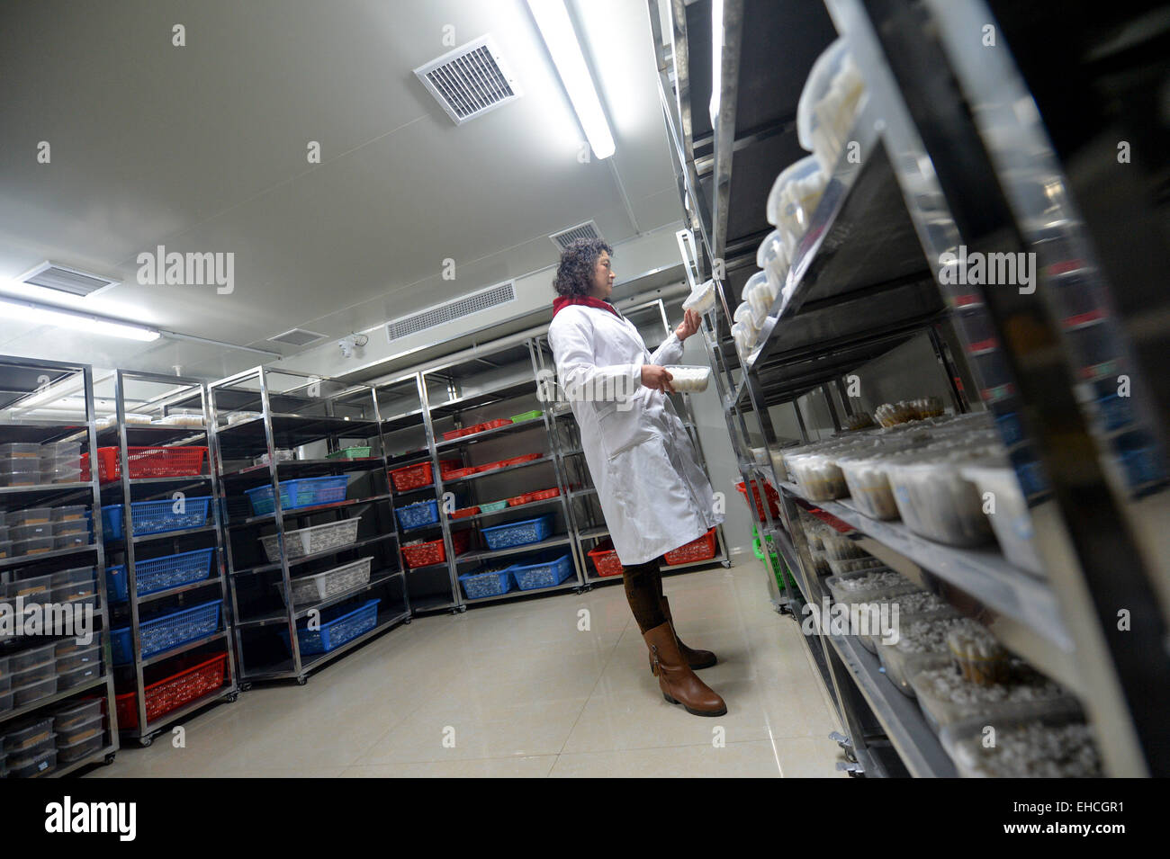 Changsha, China's Hunan Province. 11th Mar, 2015. A researcher checks larvae in the pest natural enemy rearing - Stock Image