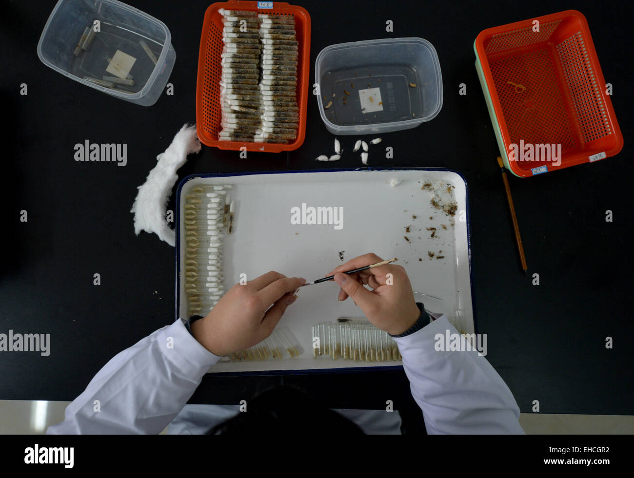 Changsha, China's Hunan Province. 11th Mar, 2015. A researcher attach wasp larvae to mealworms in the pest natural - Stock Image