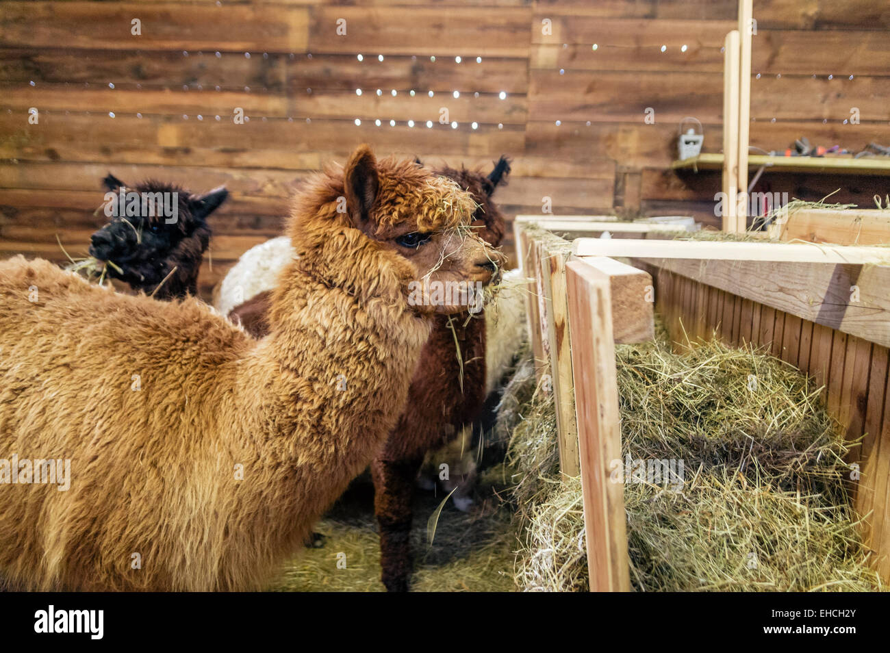 Brown alpaca in a stable - Stock Image
