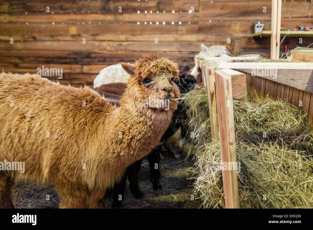Alpaca in a stable - Stock Image