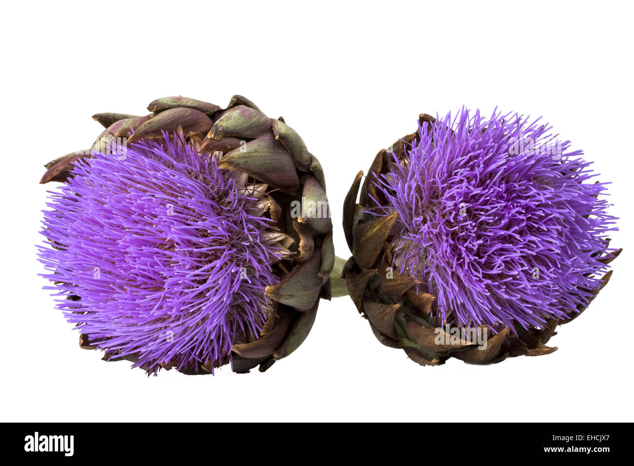 artichoke in bloom on white background - Stock Image