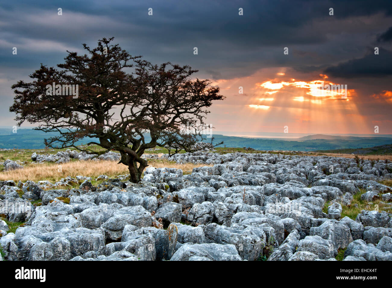 Lone Hawthorne Tree on Limestone Pavement at Sunset, Twistleton Scars, Yorkshire Dales National Park, Yorkshire, Stock Photo