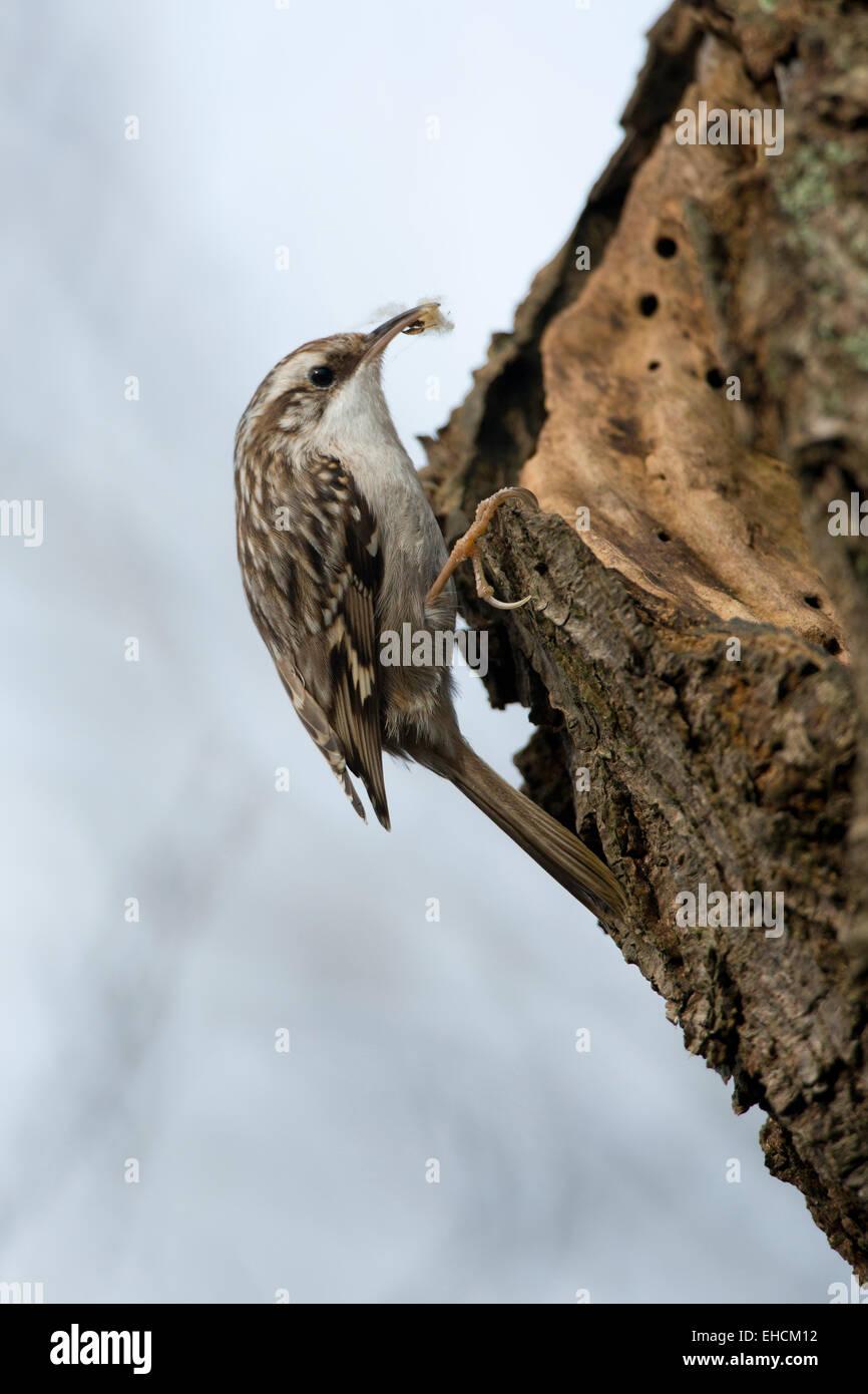 Short-toed Treecreeper (Certhia brachydactyla), Emsland, Lower Saxony, Germany - Stock Image