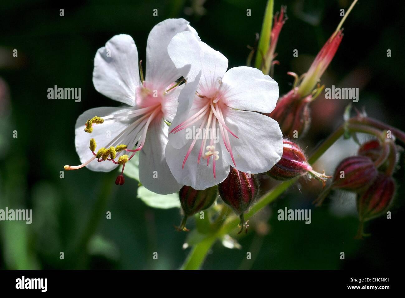 Storchschnabel, White blossom - Stock Image
