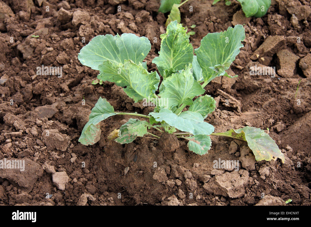 White cabbage seedling - Stock Image