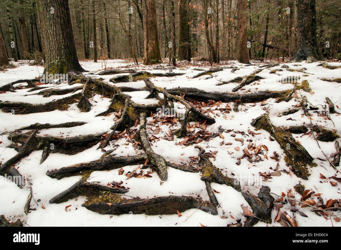 Tree root patterns in the snow - Pisgah National Forest - near Brevard, North Carolina, USA - Stock Image