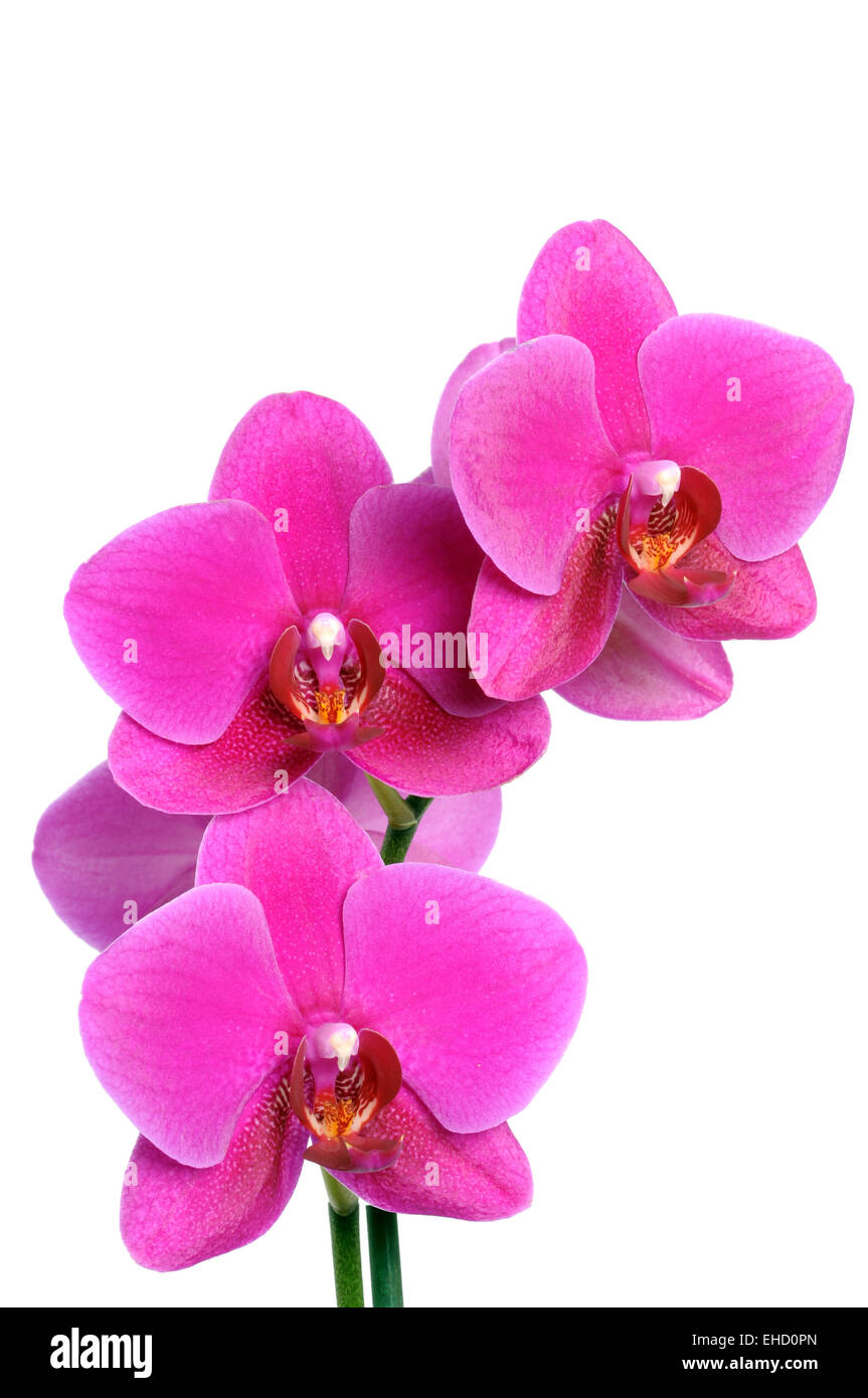 Orchid - Stock Image