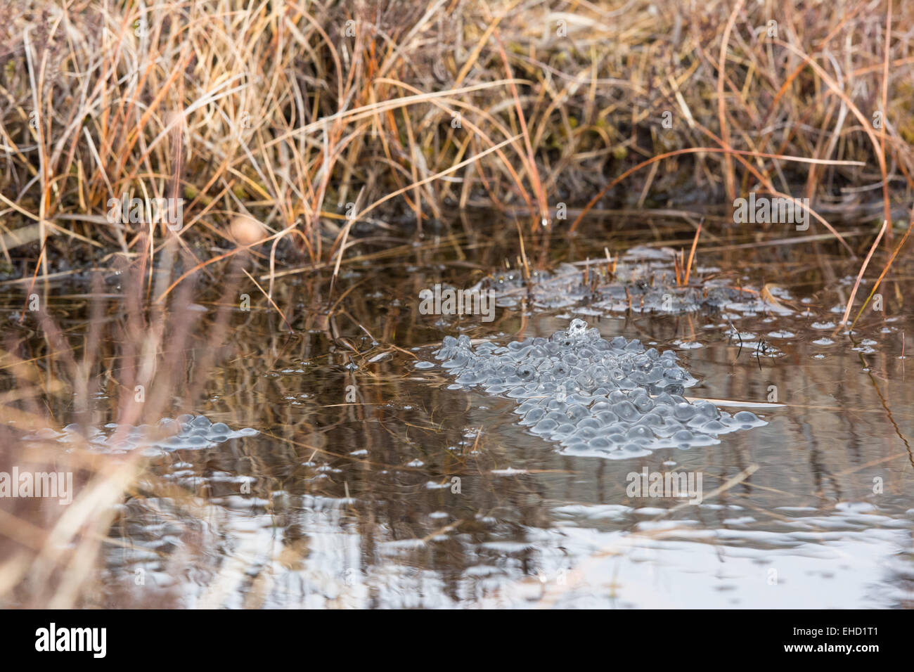 Frog Spawn in a Marshy Pond - Stock Image
