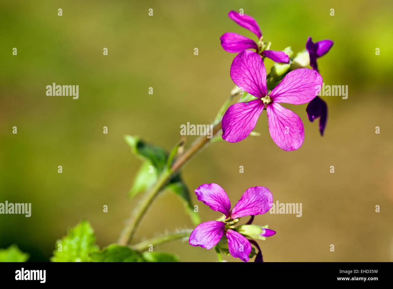 Honesty (Lunaria annua) Spring wildflower - Stock Image